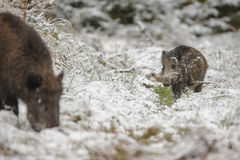 Young boar in winter Stock Photos