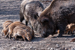 Young Boars searching for food Royalty Free Stock Photo
