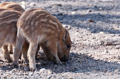 Young Boars searching for food Royalty Free Stock Images