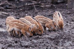 Young Boars searching for food Royalty Free Stock Image