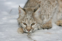 Young Bobcat. A young wild bobcat looking ahead Stock Photo