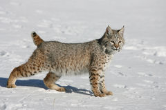 Young Bobcat. A young wild bobcat looking ahead Stock Photography