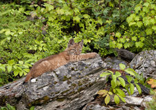 Young bobcat. Baby bobcat on ledge at edge of woods Stock Photos