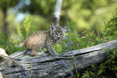 Young Bobcat. Closeup of a Bobcat Kit against a blurred background Royalty Free Stock Image
