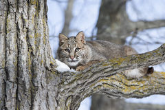 Young bobcat. A young bobcat hiding in a tree and looking straight ahead Royalty Free Stock Image