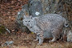 Bobcat in the Fall royalty free stock photography