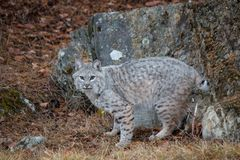 Bobcat in the Fall royalty free stock images