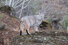 Bobcat in the Fall royalty free stock image