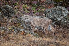 Bobcat in the Fall stock image