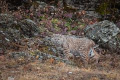 Bobcat in the Fall