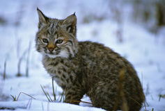 Young Bobcat in Snow Stock Photos