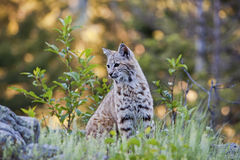 Young bobcat in western forest Stock Photography