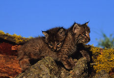 Young Bobcats Cuddling. Two young bobcat kittens laying together on a moss covered log Royalty Free Stock Photos