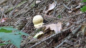 Young body the fungus fly agaric Amanita muscaria. Young body of the fungus fly agaric Amanita muscaria stock footage