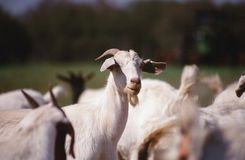 Young Boer Goat. One year old Boer goats, in a ranch in Texas royalty free stock photography