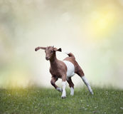 Young boer goat. Running on the grass stock images