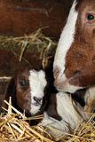 Young Boer Goat. Very young African Boer Goat kid with his mom Royalty Free Stock Image