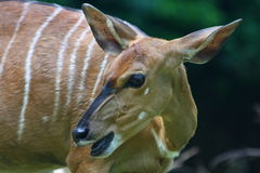 A Young Bongo. Portrait of young Bongo outdoors with natural background stock images