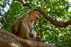 Young bonnet macaque sitting on a tree. Branch in Mollem national park, Goa, India stock photo