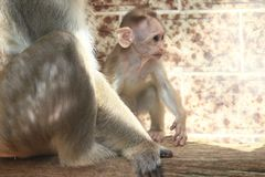 Bonnet macaque juvenile. The young bonnet macaque on the wooden desk Royalty Free Stock Photos