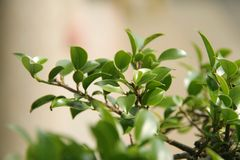 Young bonsai leaves. In early spring Royalty Free Stock Images