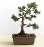 Young Bonsai Tree Royalty Free Stock Photography