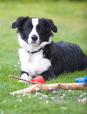 Young Border Collie Stock Photo