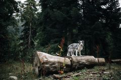 Border collie dog behind a tree in a dark fairytale forest stock images