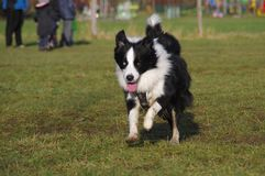 Young border collie dog. Happy Border Collie on grass. Young attentive dog is running on the meadow. Socialization of animals stock images