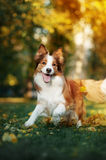 Young border collie dog playing with leaves in autumn Royalty Free Stock Photos