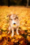 Young border collie dog playing with leaves and holds a piece of wood in autumn royalty free stock photos