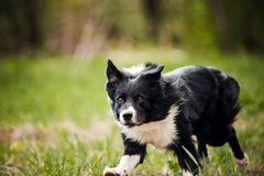 Young border collie dog Royalty Free Stock Photos