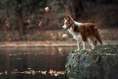 Young border collie dog standing on the edge of pond Stock Photos