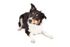 Young Border Collie Laying Lookng to Side Royalty Free Stock Photo