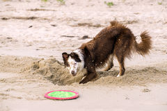 Young Border Collie Playing Royalty Free Stock Photo