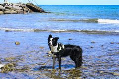 Border collie on the shore of the sea, animals and nature. Young border collie at the sea on the rocky shore of Liguria royalty free stock image