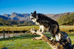 A young Border Collie sitting on a tree stump Stock Photography