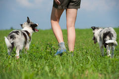 Young border collies Stock Photography