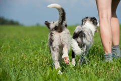 Young border collies Stock Photo