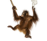 Young Bornean orangutan hanging on to a branch and rope Stock Image