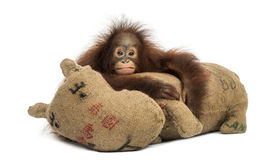 Young Bornean orangutan hugging its burlap stuffed toy Royalty Free Stock Photos