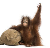 Young Bornean orangutan with its burlap stuffed toy Royalty Free Stock Photography