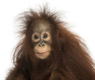 Young Bornean orangutan looking at the camera, Pongo pygmaeus. 18 months old, isolated on white Royalty Free Stock Image