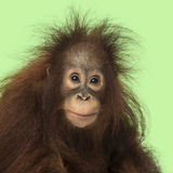 Young Bornean orangutan looking at the camera, Pongo pygmaeus. 18 months old, on a green background Royalty Free Stock Photos