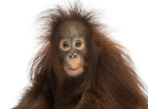 Young Bornean orangutan looking impressed, Pongo pygmaeus. 18 months old, isolated on white stock photography
