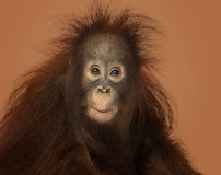 Young Bornean orangutan looking impressed, Pongo pygmaeus. 18 months old, on a brown background Stock Images
