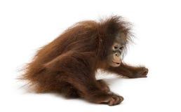Young Bornean orangutan sitting down, Pongo pygmaeus. 18 months old, isolated on white Royalty Free Stock Photography