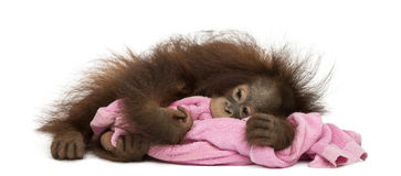 Young Bornean orangutan tired, lying and cuddling a pink towel Royalty Free Stock Photos