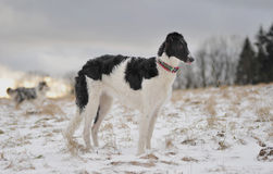 Young Borzoi Royalty Free Stock Images