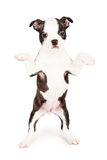 Young Boston Terrier Puppy Dog Begging Royalty Free Stock Photos